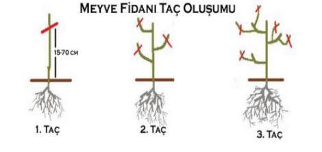 Hunnap ağacı taç oluşumu