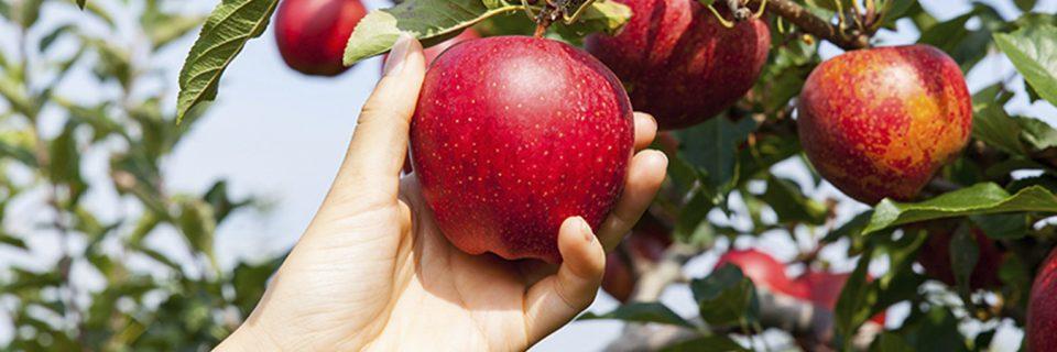 Tüm meyve fidanlarımız %100 doğal ve organiktir.