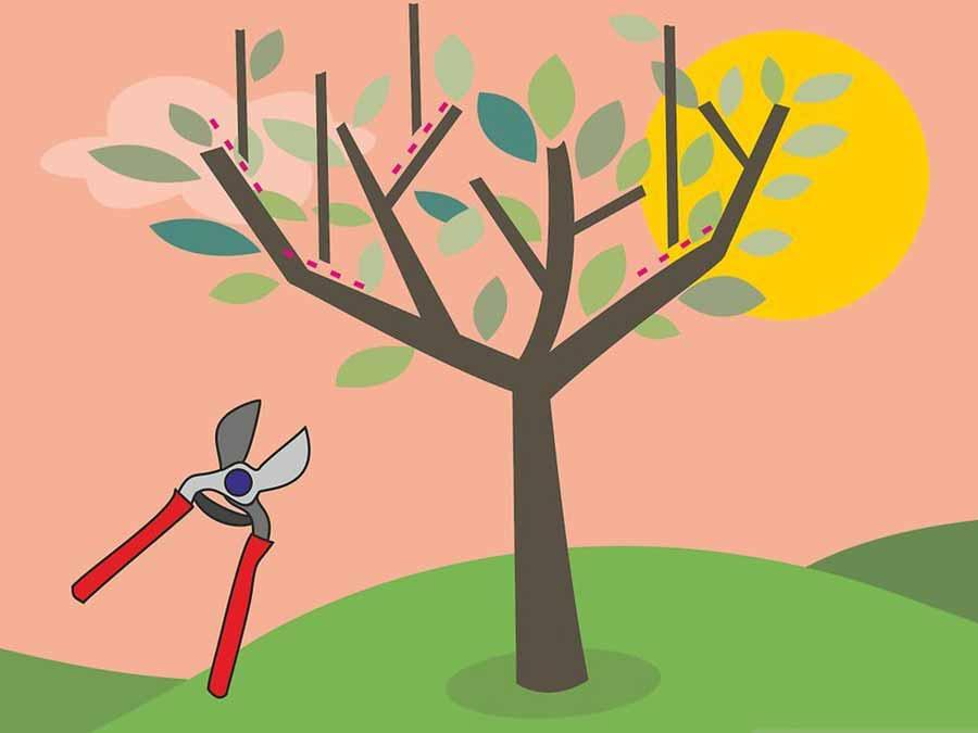 zeytin ağacı budama yöntemleri